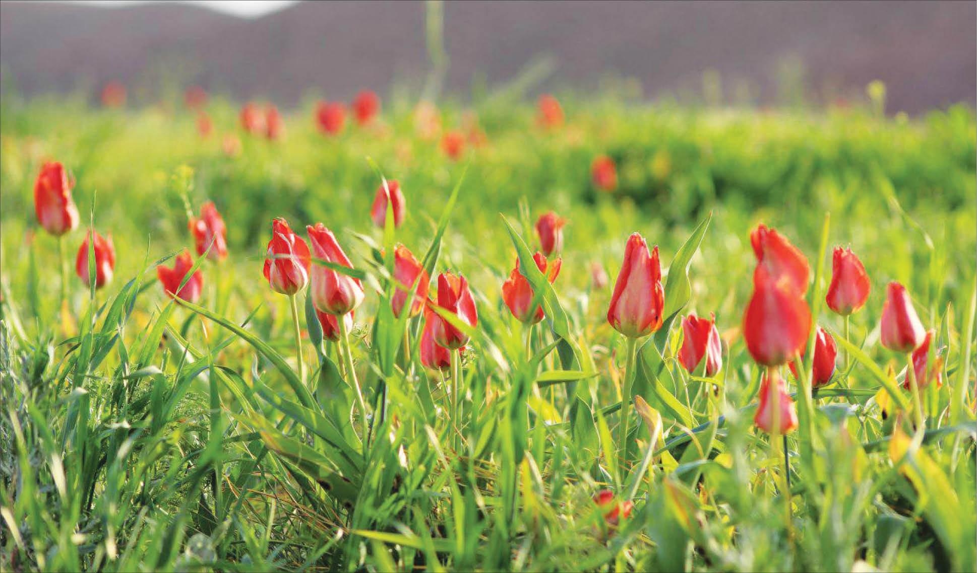 دلبری لاله ها در طبیعت زیبای اردکول : بازدید 6 هزار گردشگر از سرزمین لاله های سرخ